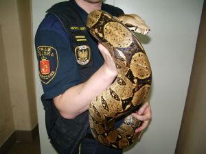 Strażnicy na tropie porzuconych egzotycznych zwierząt