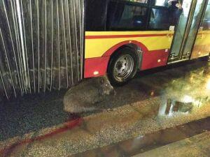"""Dzik na buspasie. """"Szedł na środek jezdni"""""""