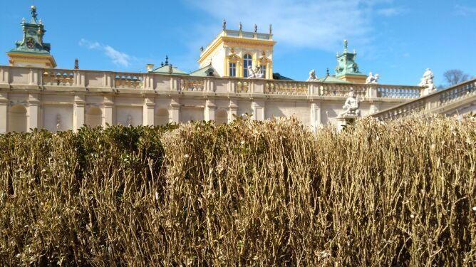 Ćmy bukszpanowe niszczą ogrody Pałacu w Wilanowie