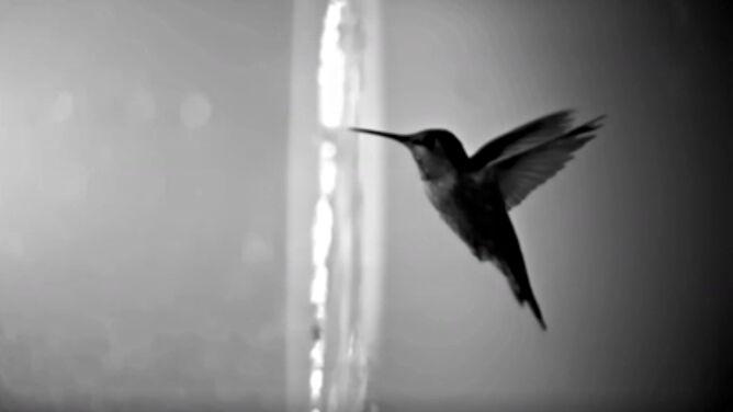 Sfilmowali kolibry przelatujące przez wodę. <br />Wyniki zaskoczyły naukowców