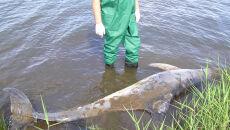 Choroba skóry u delfinów (Kate Rob, Marine Mammal Foundation)