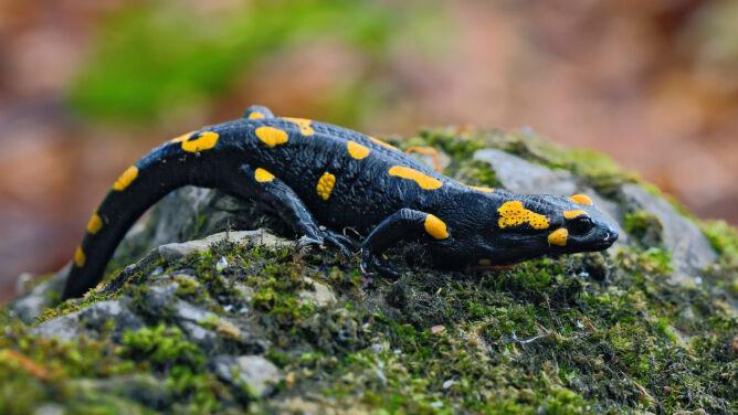 Salamandry na godach