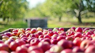 Siedem korzyści płynących z jedzenia jabłek