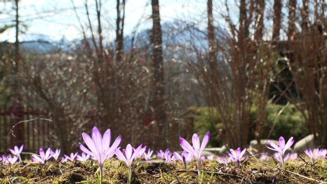 """""""Pierwsze na wiosnę budzą się krokusy"""". W Zakopanem już się pojawiły"""