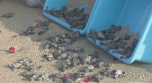 Wypuszczają na wolność żółwie morskie